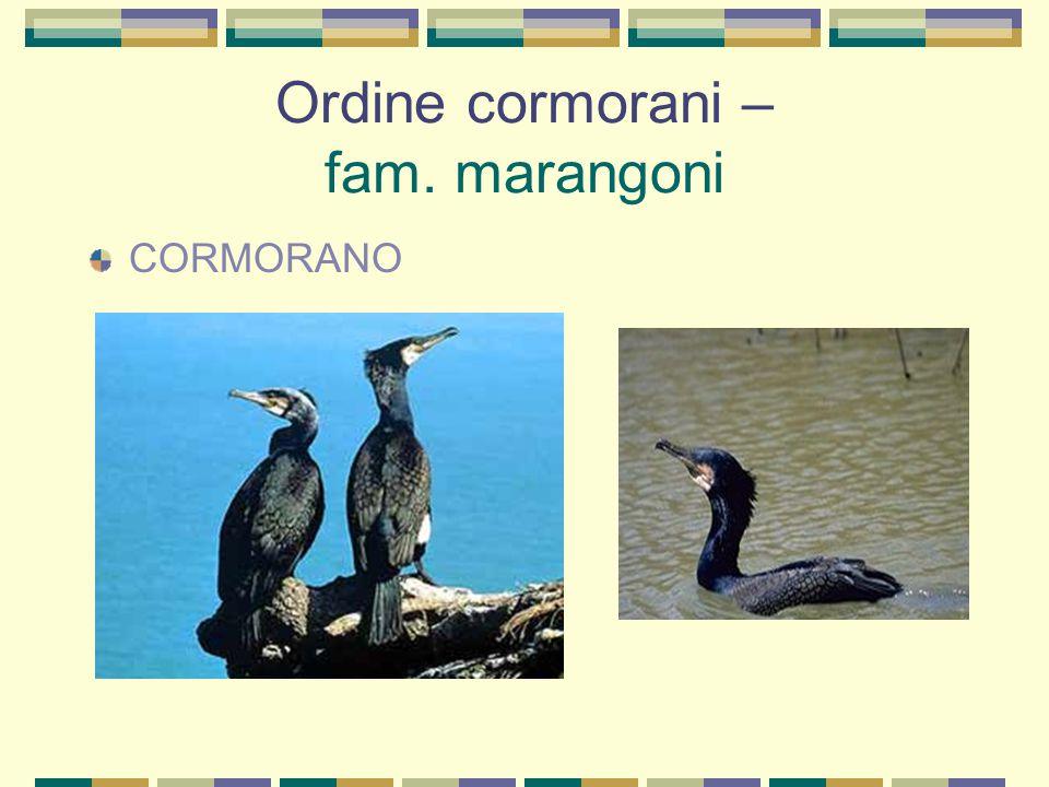 Ordine cormorani – fam. marangoni CORMORANO