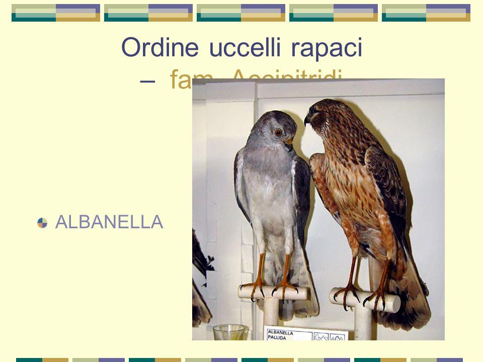 Ordine uccelli rapaci – fam. Accipitridi ALBANELLA