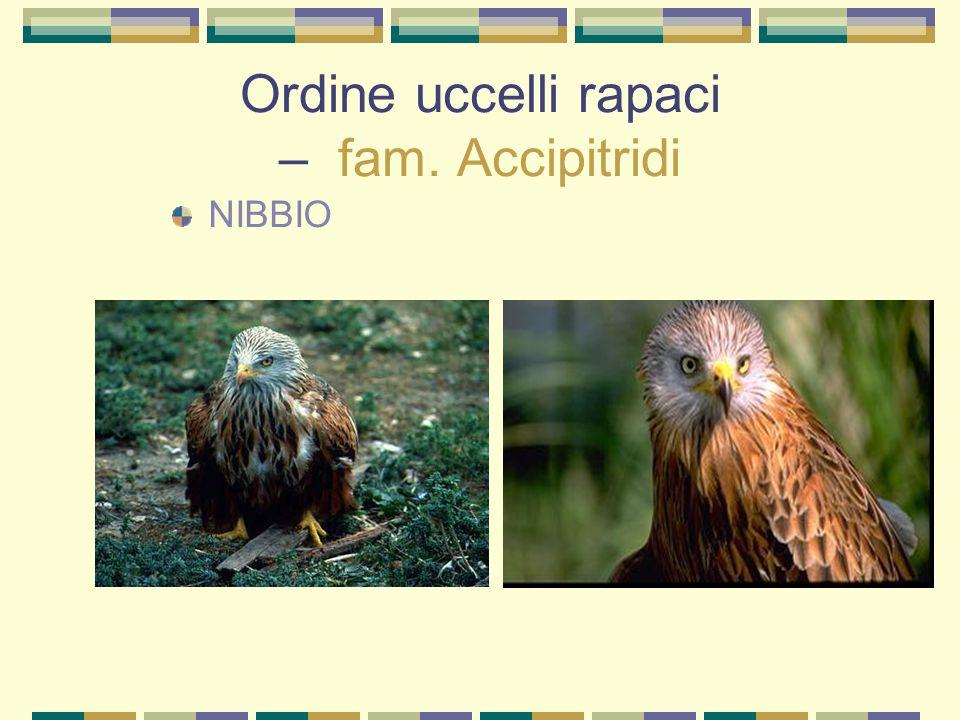 Ordine uccelli rapaci – fam. Accipitridi NIBBIO