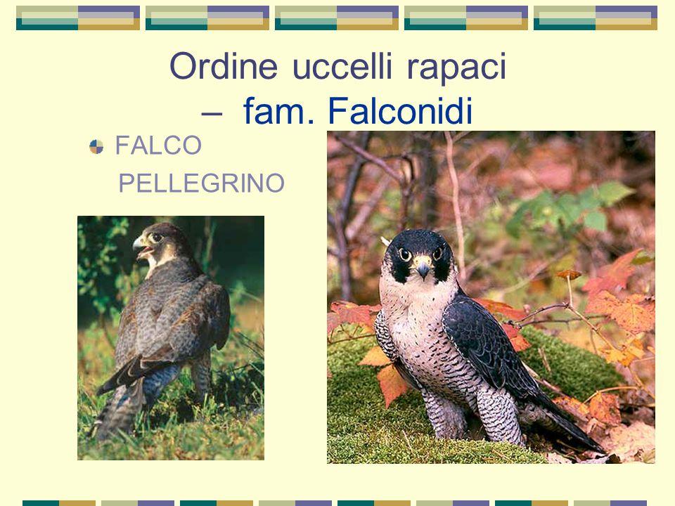 Ordine uccelli rapaci – fam. Falconidi FALCO PELLEGRINO