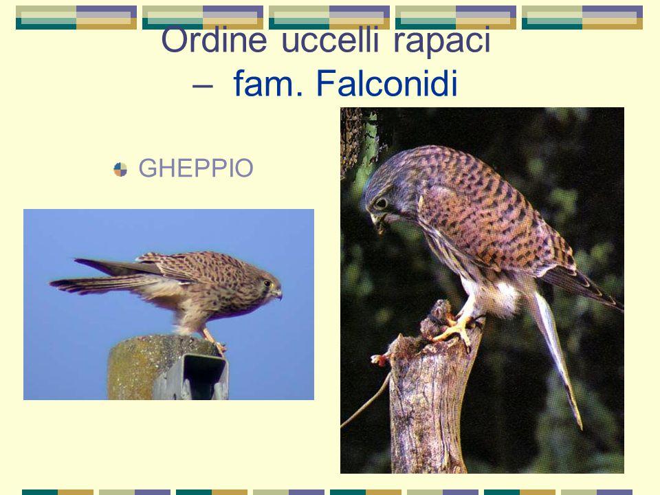 Ordine uccelli rapaci – fam. Falconidi GHEPPIO