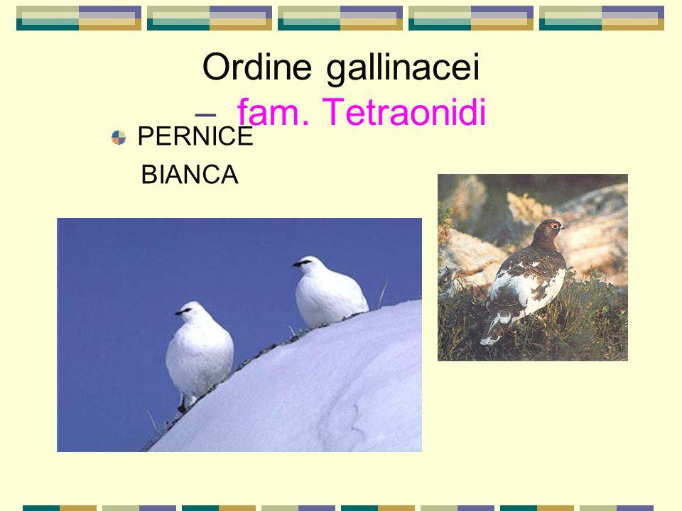 Ordine gallinacei – fam. Tetraonidi PERNICE BIANCA