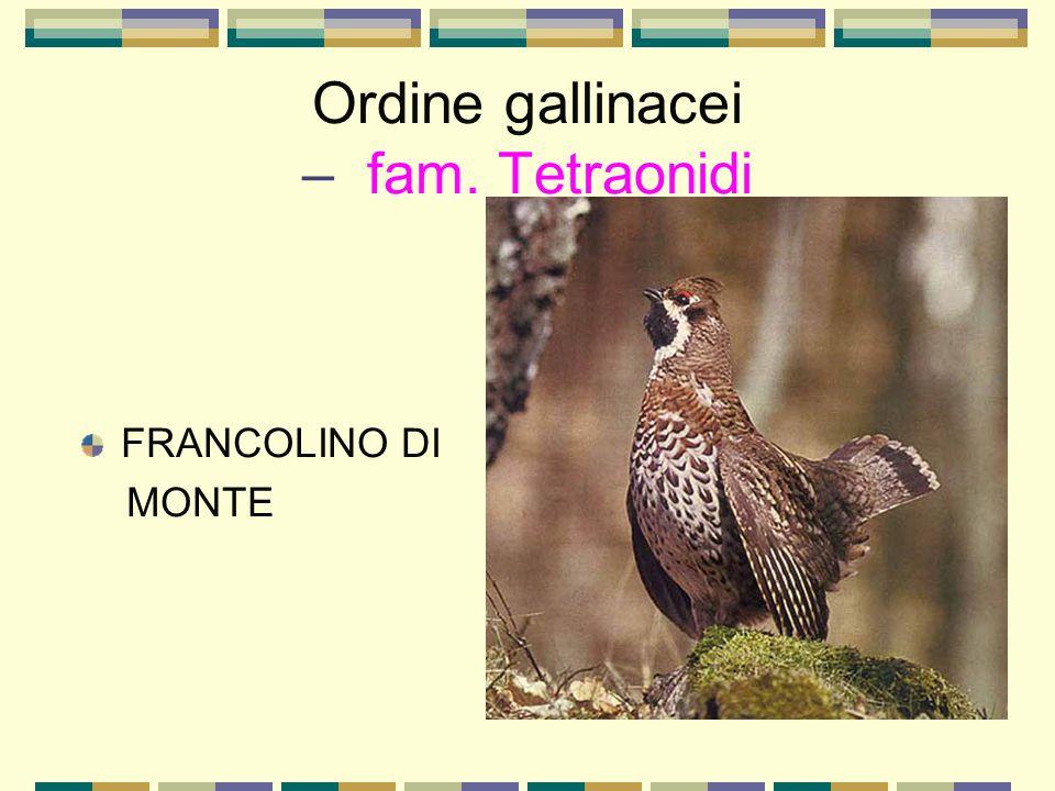 Ordine gallinacei – fam. Tetraonidi FRANCOLINO DI MONTE