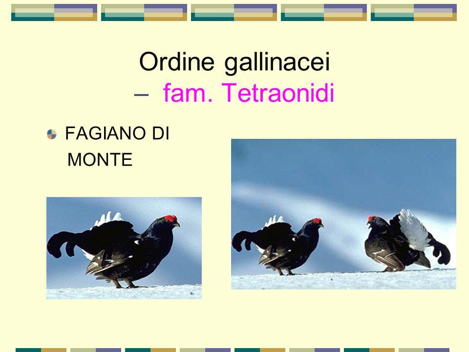 Ordine gallinacei – fam. Tetraonidi FAGIANO DI MONTE