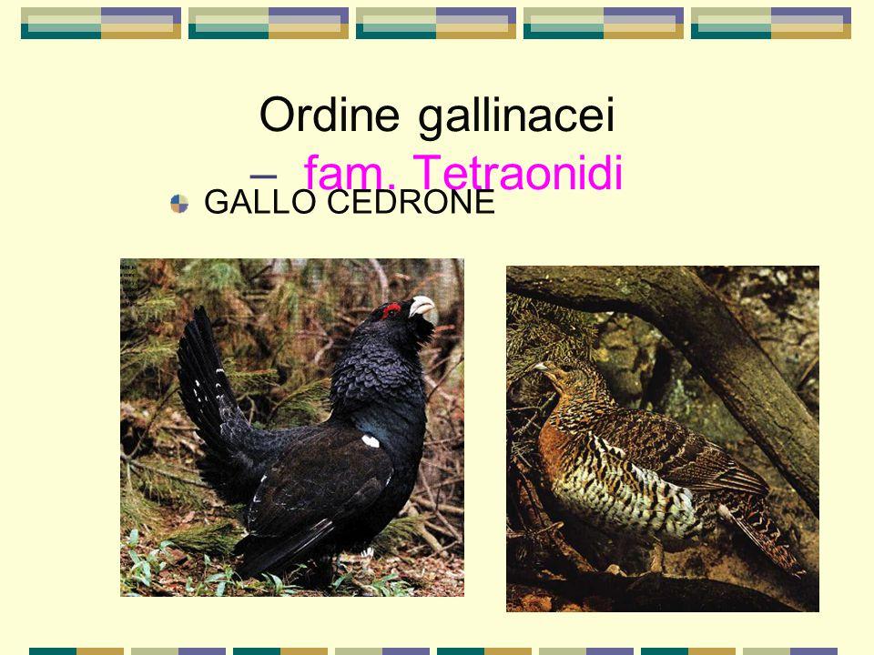 Ordine gallinacei – fam. Tetraonidi GALLO CEDRONE