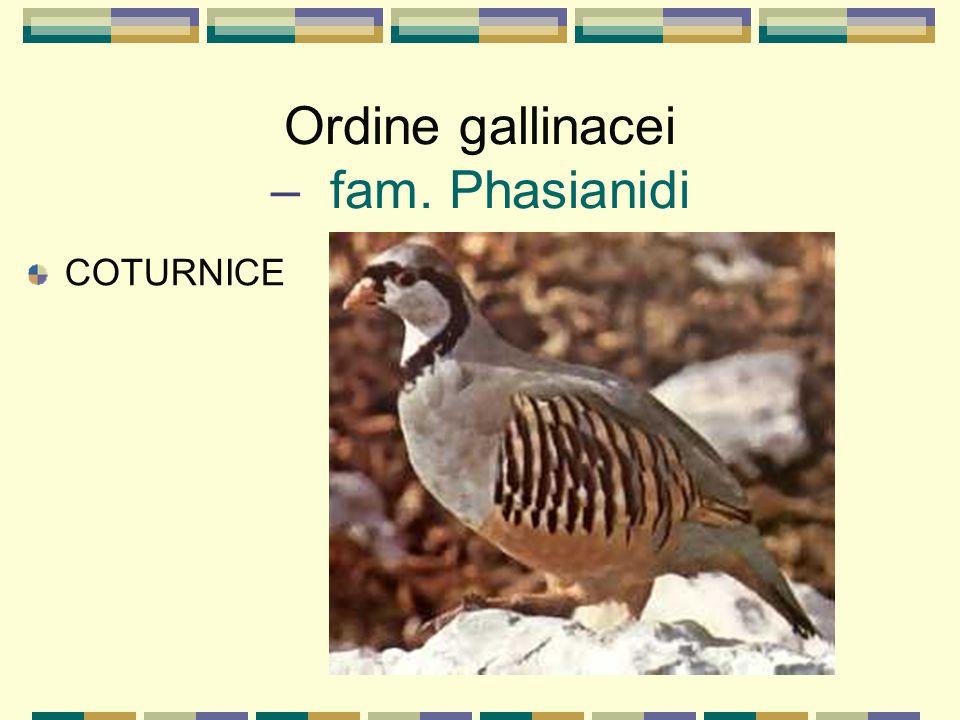 Ordine gallinacei – fam. Phasianidi COTURNICE