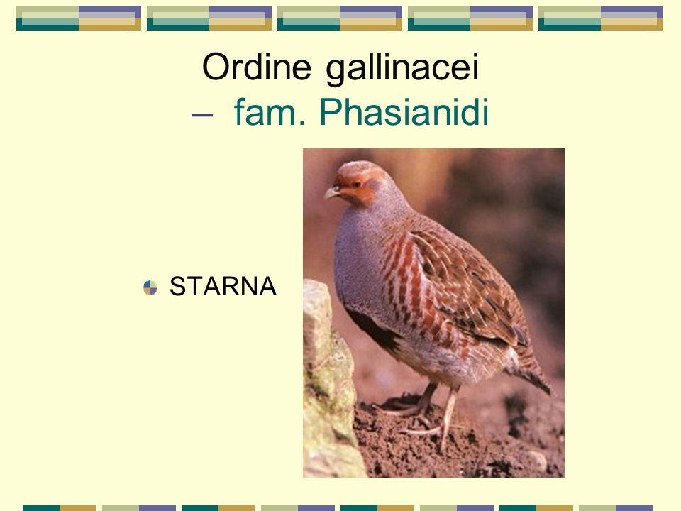 Ordine gallinacei – fam. Phasianidi STARNA