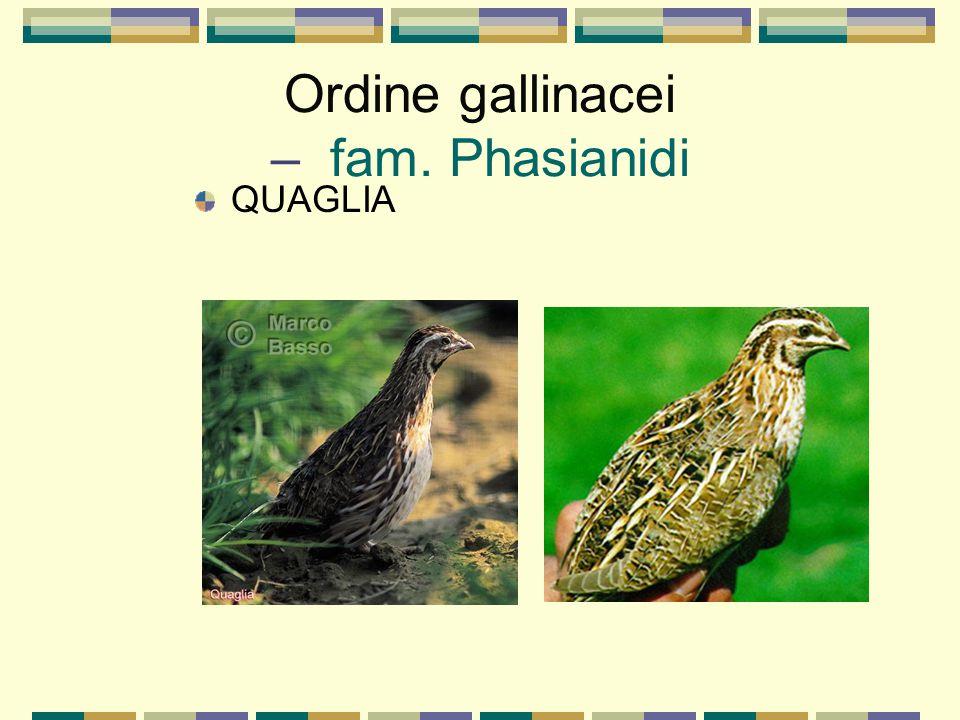 Ordine gallinacei – fam. Phasianidi QUAGLIA