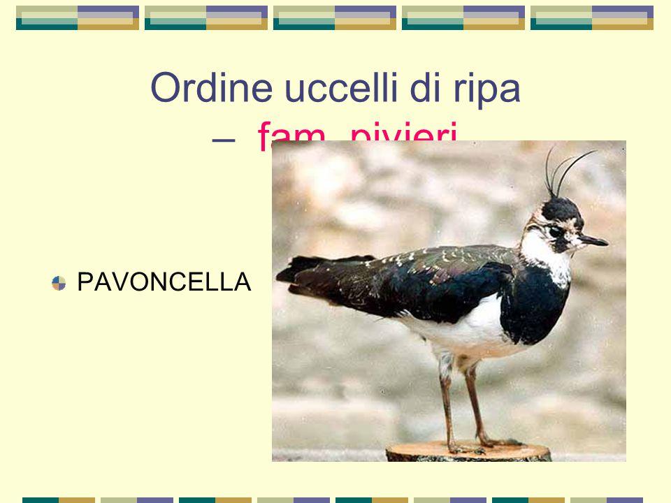 Ordine uccelli di ripa – fam. pivieri PAVONCELLA