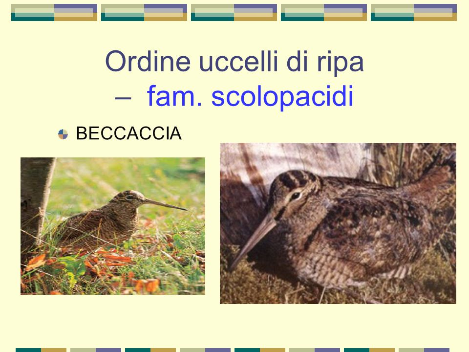 Ordine uccelli di ripa – fam. scolopacidi BECCACCIA