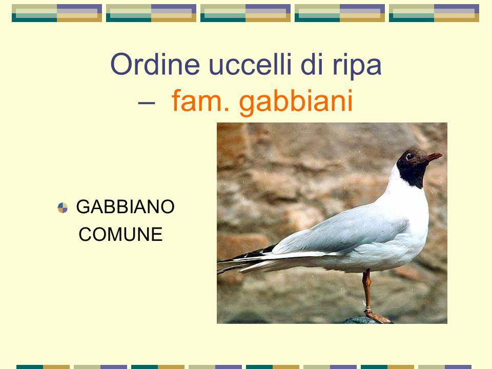 Ordine uccelli di ripa – fam. gabbiani GABBIANO COMUNE
