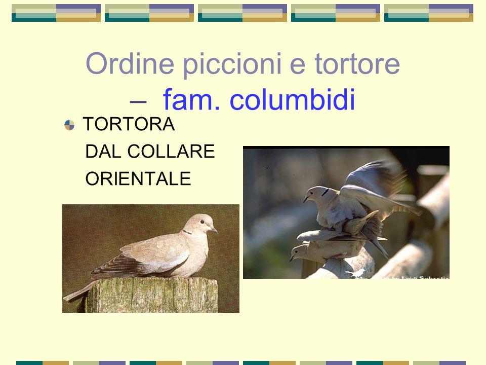 Ordine piccioni e tortore – fam. columbidi TORTORA DAL COLLARE ORIENTALE