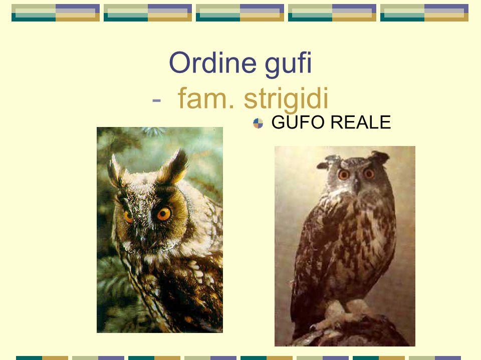 Ordine gufi - fam. strigidi GUFO REALE
