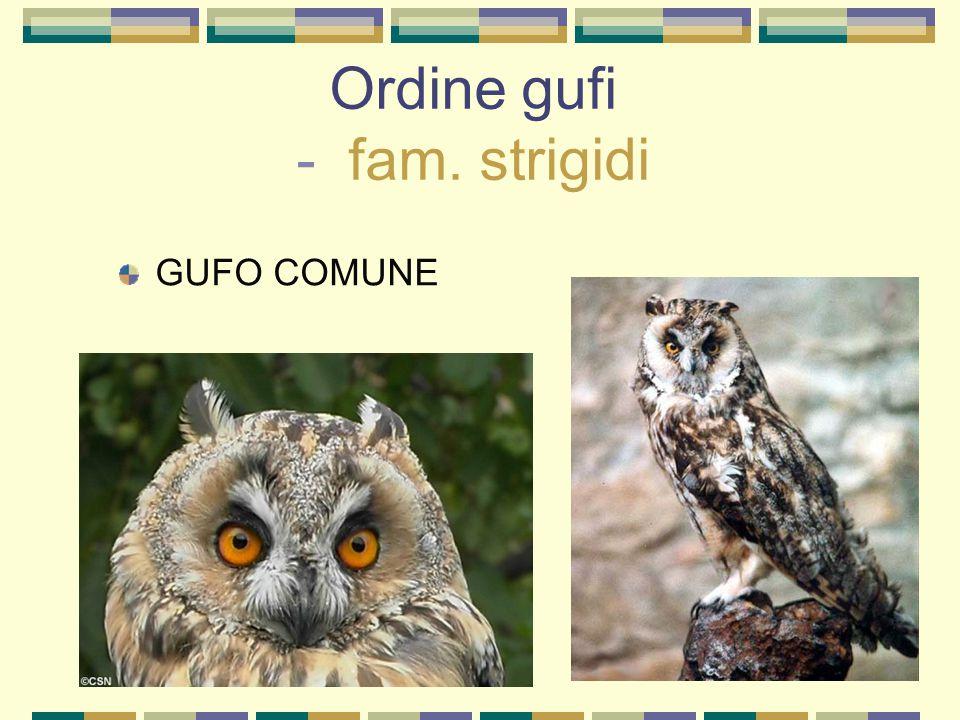 Ordine gufi - fam. strigidi GUFO COMUNE
