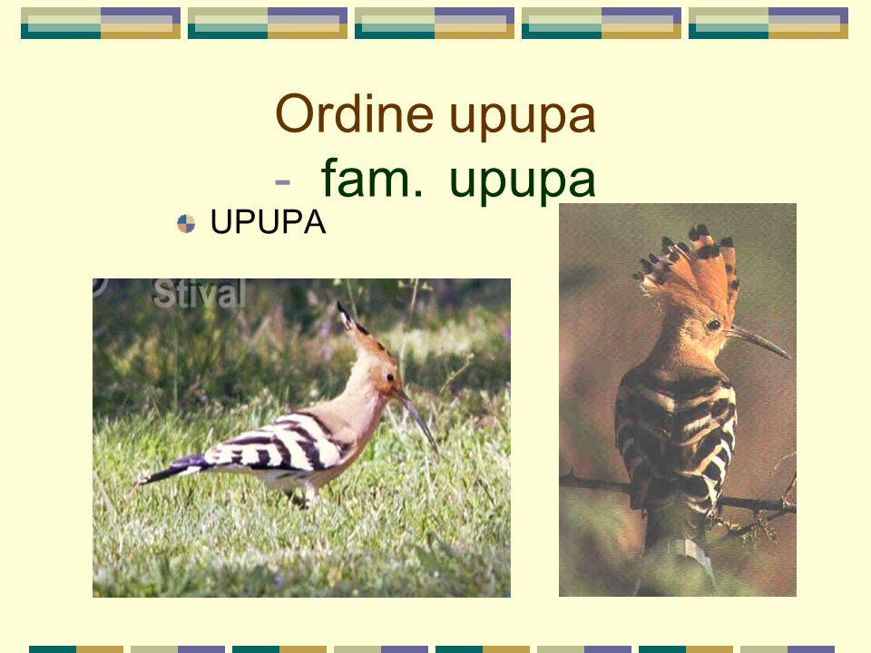 Ordine upupa - fam. upupa UPUPA