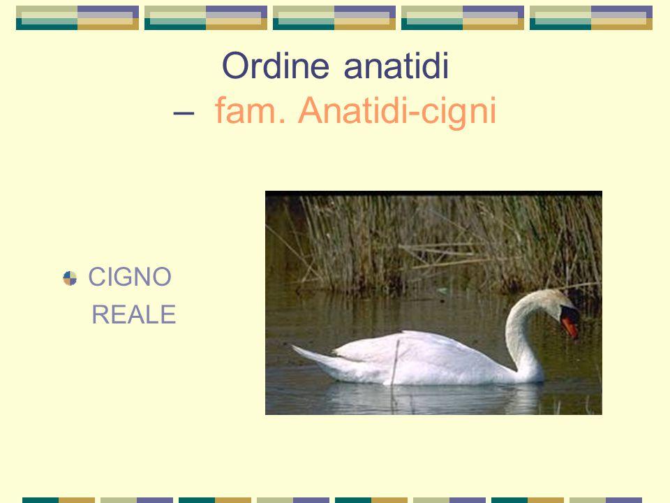 Ordine anatidi – fam. Anatidi-cigni CIGNO REALE