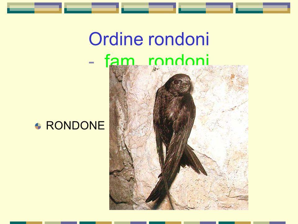Ordine rondoni - fam. rondoni RONDONE