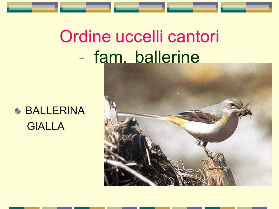 Ordine uccelli cantori - fam. ballerine BALLERINA GIALLA