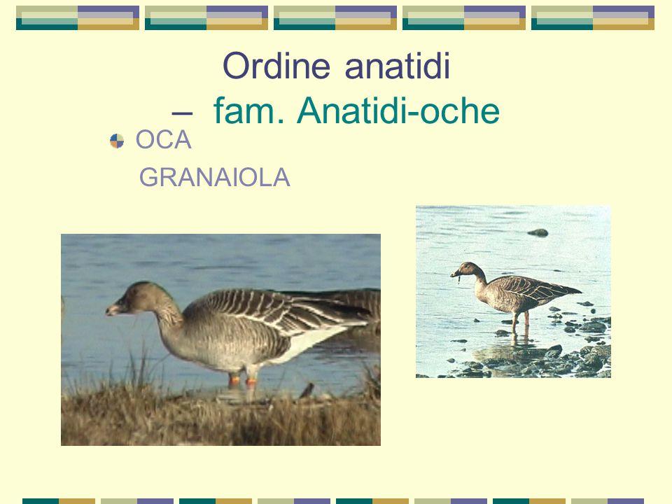 Ordine anatidi – fam. Anatre di superficie ALZAVOLA