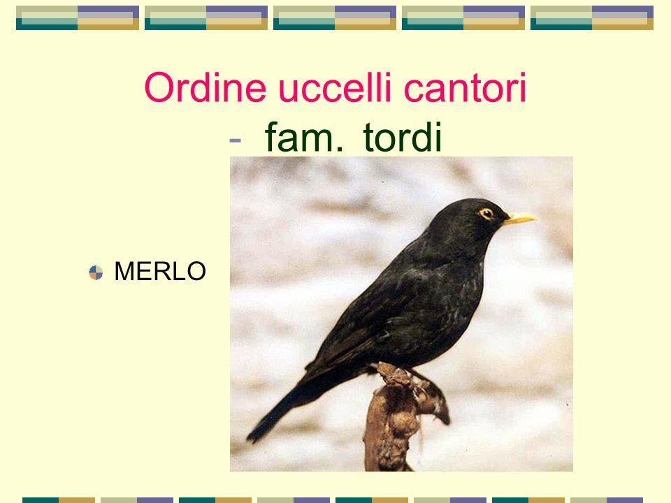 Ordine uccelli cantori - fam. tordi MERLO