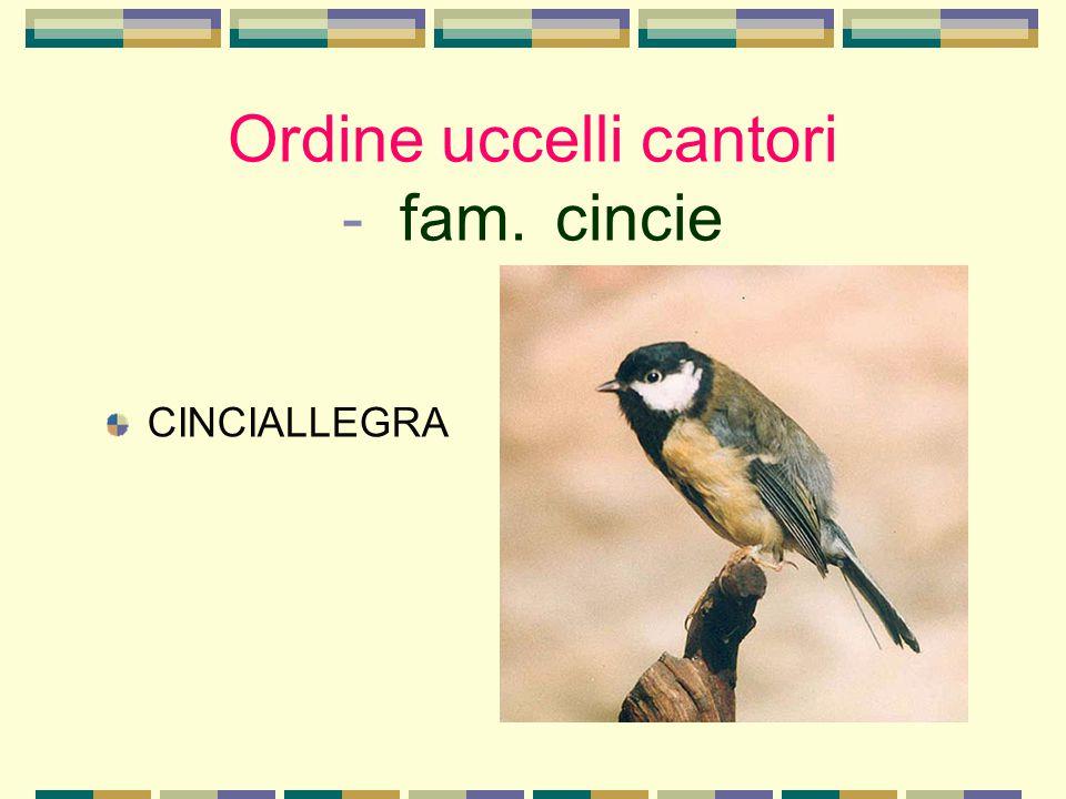 Ordine uccelli cantori - fam. cincie CINCIALLEGRA