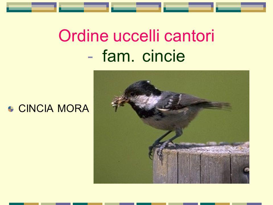 Ordine uccelli cantori - fam. cincie CINCIA MORA