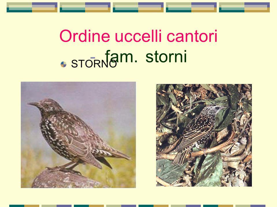 Ordine uccelli cantori - fam. storni STORNO