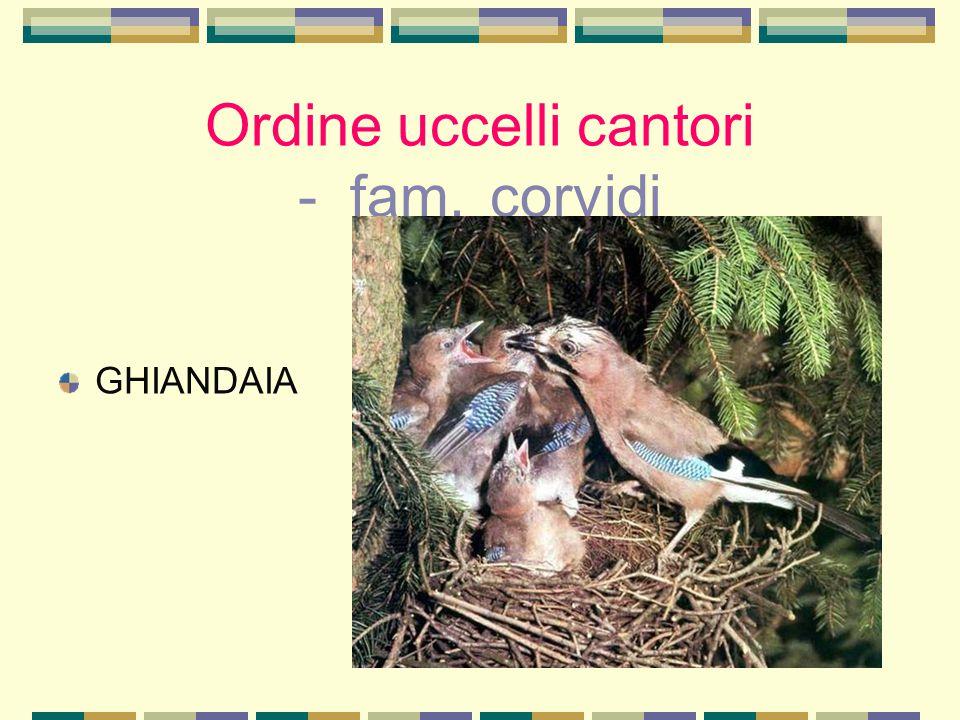 Ordine uccelli cantori - fam. corvidi GHIANDAIA