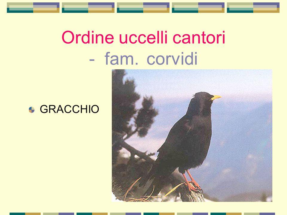 Ordine uccelli cantori - fam. corvidi GRACCHIO