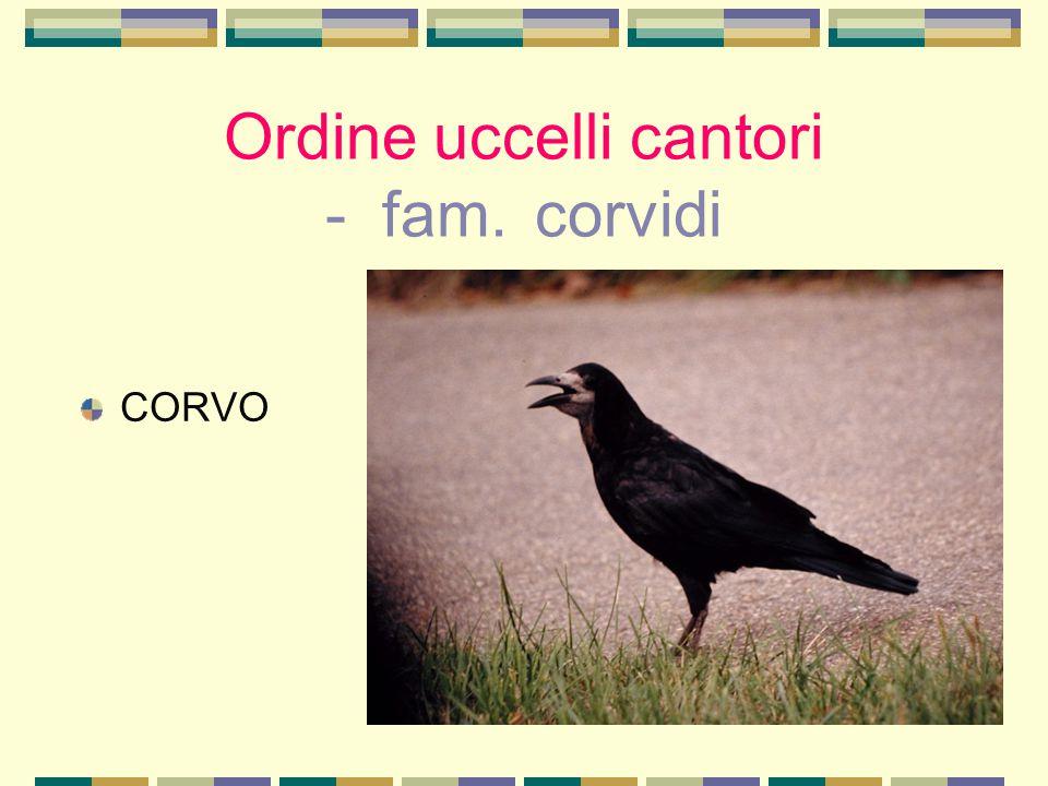Ordine uccelli cantori - fam. corvidi CORVO