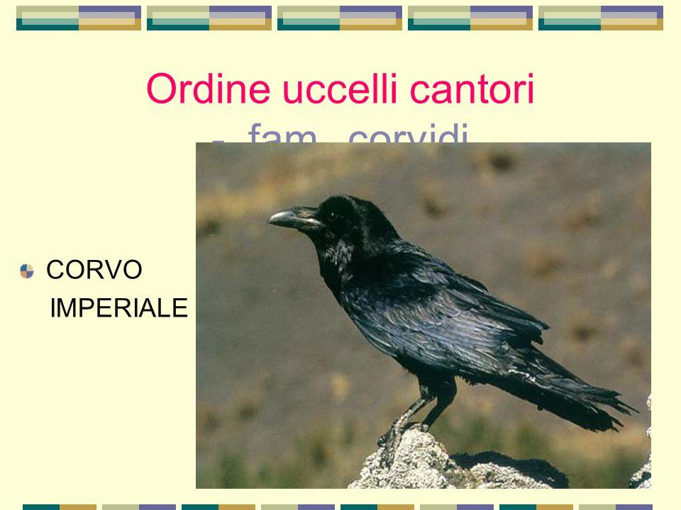 Ordine uccelli cantori - fam. corvidi CORVO IMPERIALE
