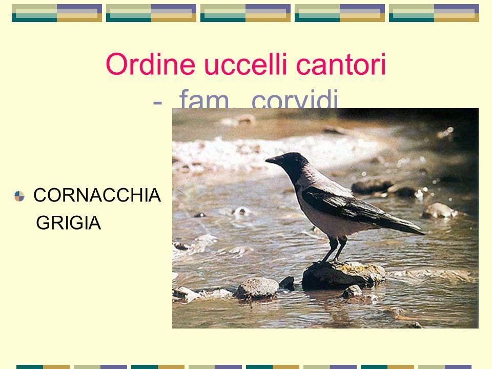 Ordine uccelli cantori - fam. corvidi CORNACCHIA GRIGIA
