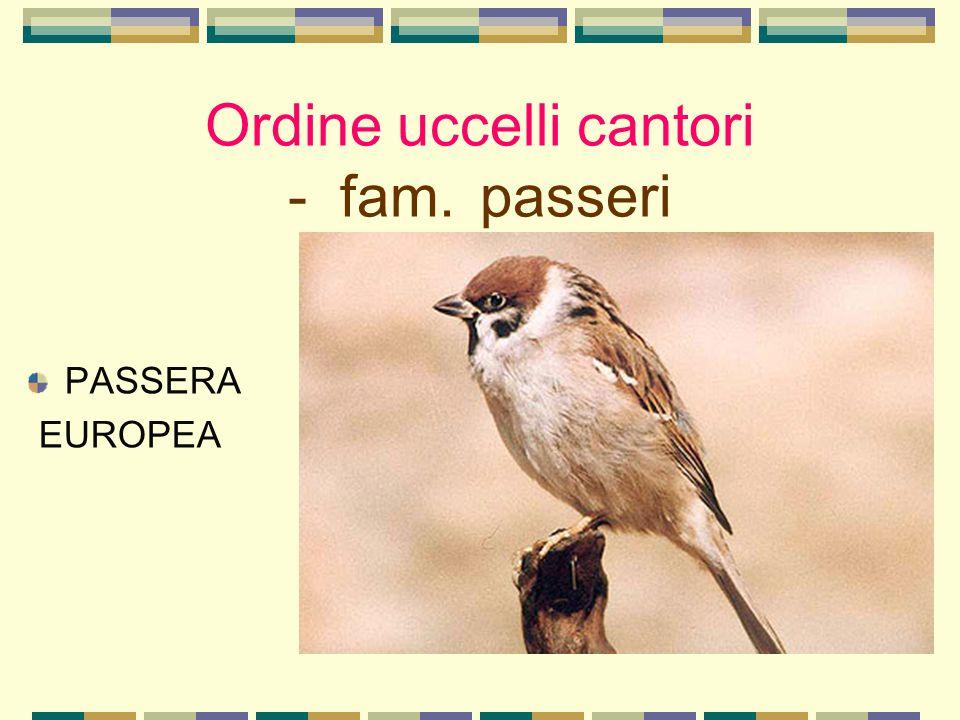Ordine uccelli cantori - fam. passeri PASSERA EUROPEA