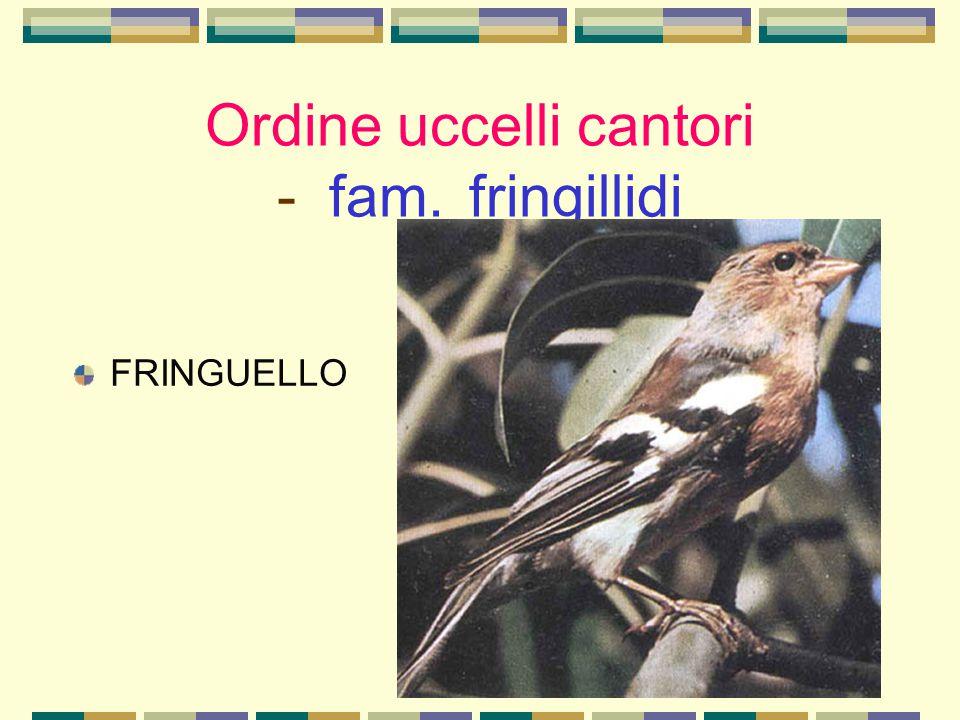 Ordine uccelli cantori - fam. fringillidi FRINGUELLO