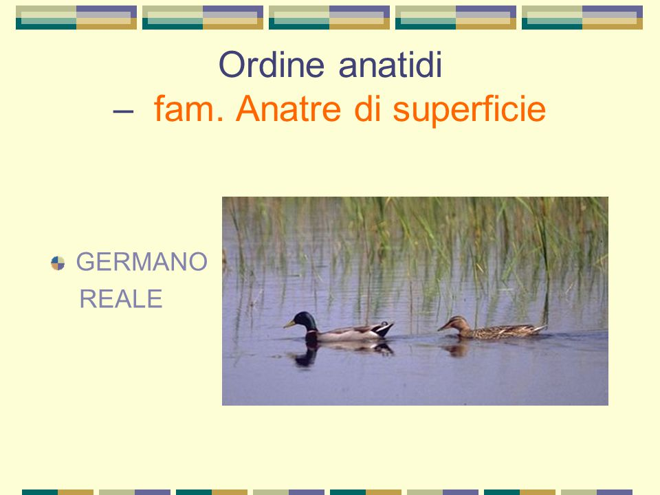 Ordine anatidi – fam. Anatre di superficie GERMANO REALE