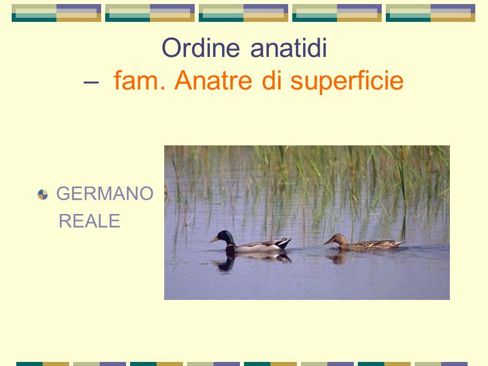 Ordine uccelli di ripa – fam. scolopacidi PIRO PICCOLO