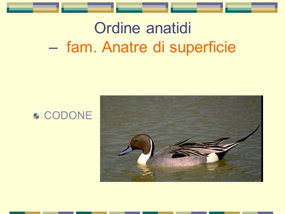 Ordine anatidi – fam. Anatre di superficie CODONE