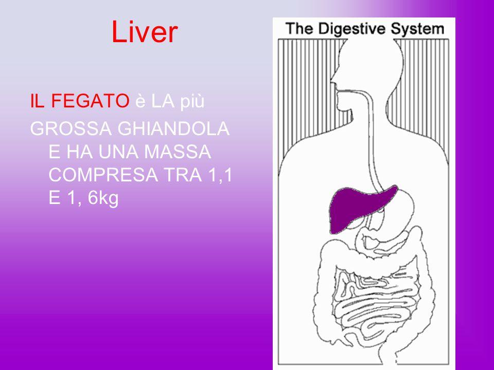 Small Intestine L'INTESTINO TENUE ASSORBE I SUCCHI ALIMENTARI DALLO STOMACO PASSA ALL'INTESTINO TENUE ….