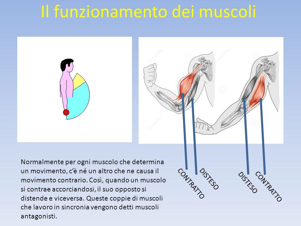 Il funzionamento dei muscoli Normalmente per ogni muscolo che determina un movimento, c'è né un altro che ne causa il movimento contrario.