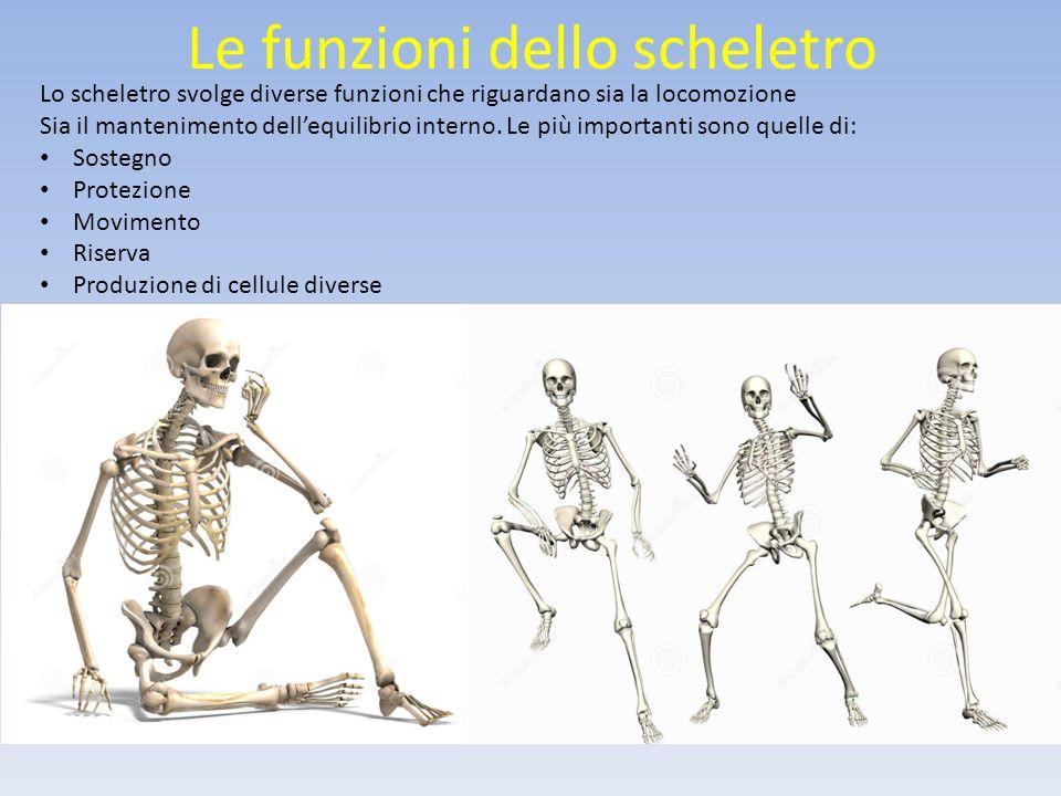 Le funzioni dello scheletro Lo scheletro svolge diverse funzioni che riguardano sia la locomozione Sia il mantenimento dell'equilibrio interno.