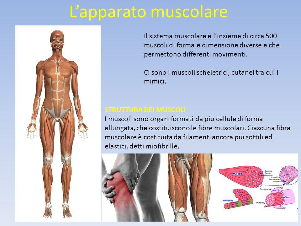 L'apparato muscolare Il sistema muscolare è l'insieme di circa 500 muscoli di forma e dimensione diverse e che permettono differenti movimenti.