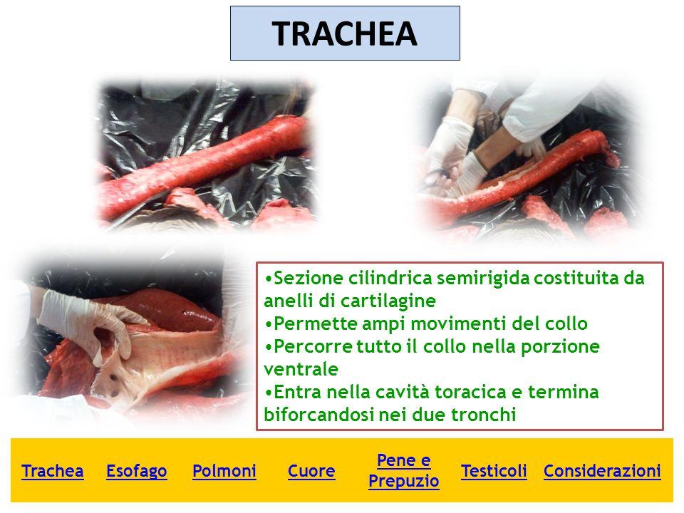 TRACHEA Sezione cilindrica semirigida costituita da anelli di cartilagine Permette ampi movimenti del collo Percorre tutto il collo nella porzione ven