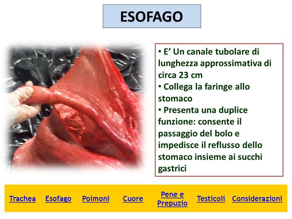 ESOFAGO E' Un canale tubolare di lunghezza approssimativa di circa 23 cm Collega la faringe allo stomaco Presenta una duplice funzione: consente il pa
