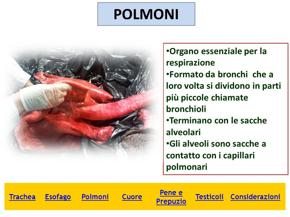 POLMONI Organo essenziale per la respirazione Formato da bronchi che a loro volta si dividono in parti più piccole chiamate bronchioli Terminano con l