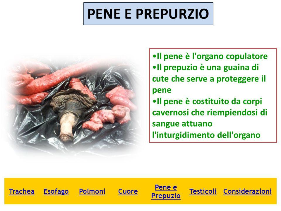 PENE E PREPURZIO Il pene è l'organo copulatore Il prepuzio è una guaina di cute che serve a proteggere il pene Il pene è costituito da corpi cavernosi