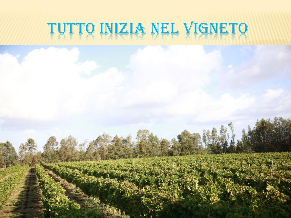 Vitigno di antica origine ed originario della Spagna, arriva in Sardegna nel XIX secolo attraverso la Corsica.