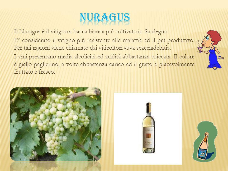 Il Nuragus è il vitigno a bacca bianca più coltivato in Sardegna. E' considerato il vitigno più resistente alle malattie ed il più produttivo. Per tal