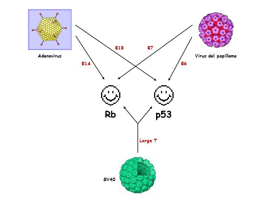 Rbp53 Adenovirus E1A E1B Large T SV40 Virus del papilloma E7 E6