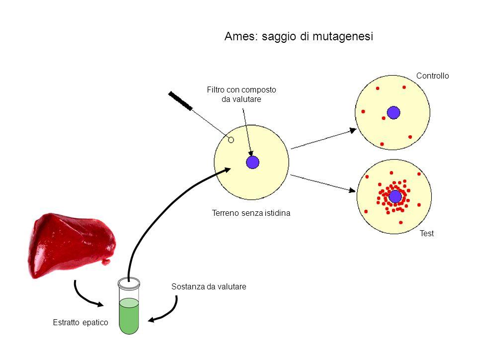 Ames: saggio di mutagenesi Filtro con composto da valutare Terreno senza istidina Estratto epatico Sostanza da valutare Controllo Test