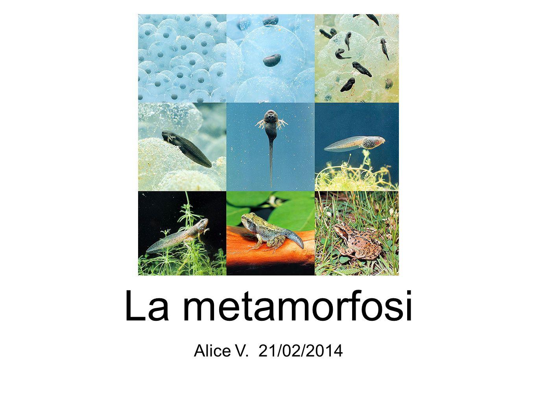 La metamorfosi Per metamorfosi si intende la trasformazione di un animale dallo stadio di larva allo stadio di adulto.
